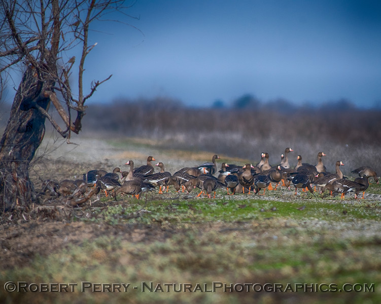 Anser albifrons Greater white-fronted geese on road 2019 01-03 Sac NWR--002