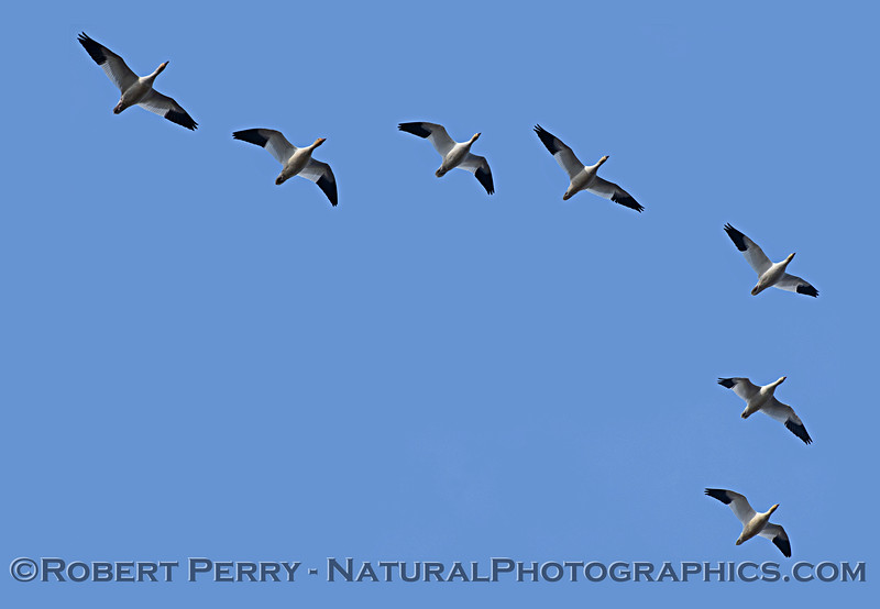 Chen caerulescens Snow geese in flight looking up 2019 01-03 Sac NWR--008
