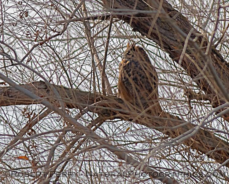 Bubo virginianus Great horned owls 2019 01-03 Sac NWR--011