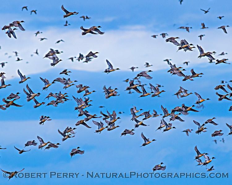 Anas acuta Pintail ducks in flight 2019 01-17 Sac NWR--024