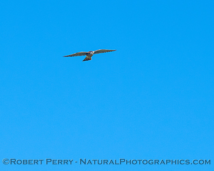 Falco sparvarius adult male in flight 2019 01-21 Meiss Rd--006