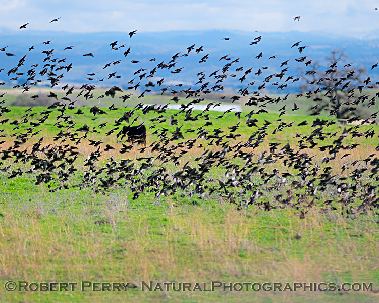 Sturnus vulgaris flocks in pasture w cows 2019 01-21 Meiss Rd--044