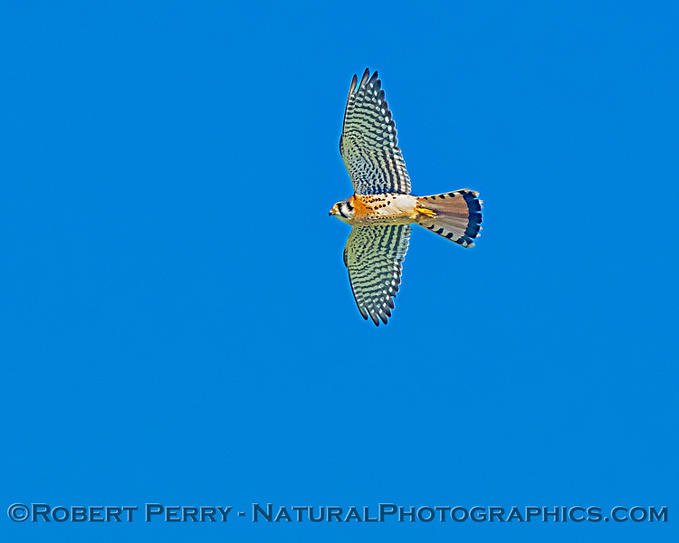 Falco sparvarius adult male in flight 2019 01-21 Meiss Rd--016