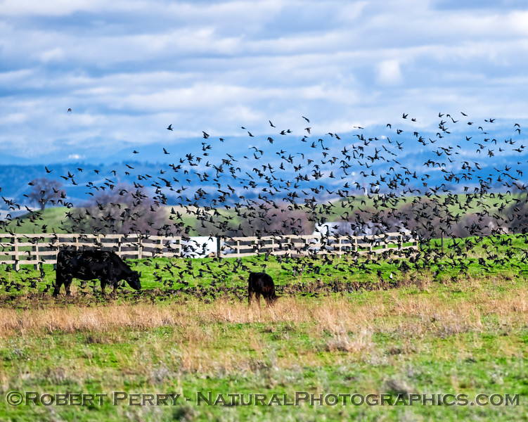 Sturnus vulgaris flocks in pasture w cows 2019 01-21 Meiss Rd--076