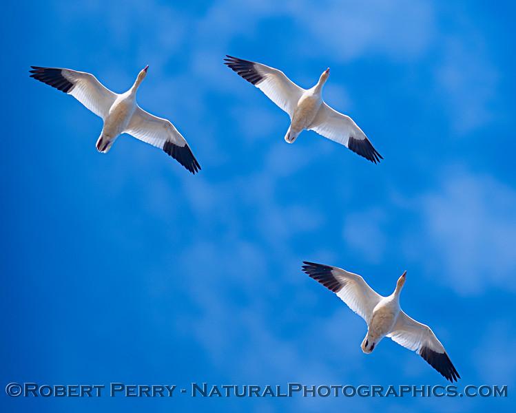 Chen caerulescens flock 3 in flight 2019 01-22 Gray Lodge--014