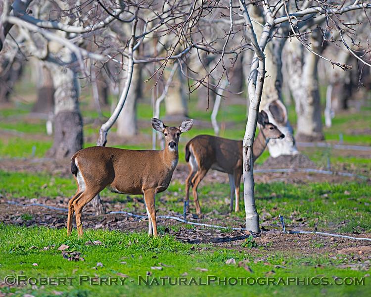 Odocoileus hemionus californicus Mule deer in orchard 2019 01-22 Gray Lodge--016