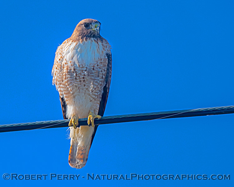 Buteo jamaicensis on wire 2019 01-22 Gray Lodge--008