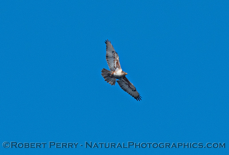 Ferruginous hawk -  our largest hawk.