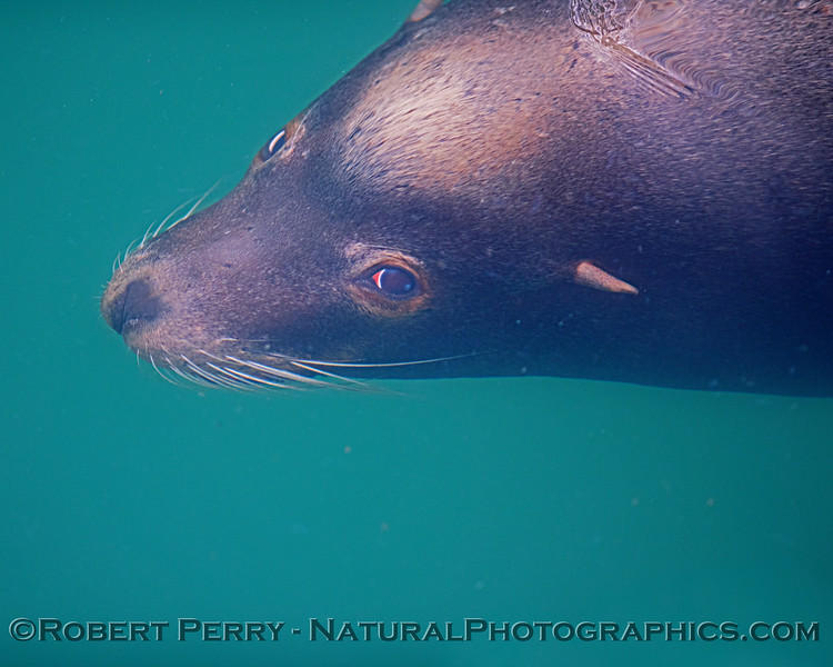 This is the second of two photos of a bull that was a few feet underwater and looking up at me!