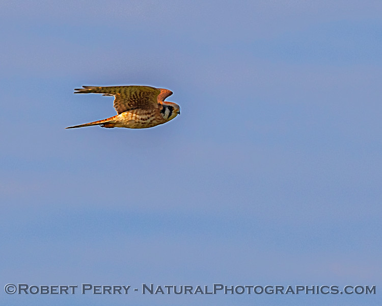 American kestrel - our smallest falcon.