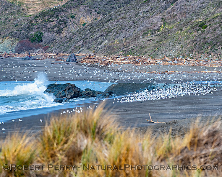 Larus flocks mouth of Russian River scenery 2019 01-28 Bodega Bay--006