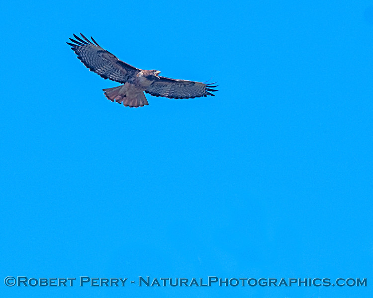 A red-tailed hawk is shown as it was emitting its distinctive call.