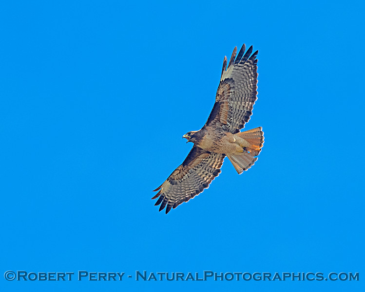 2 of 2 images of a red-tailed hawk calling.