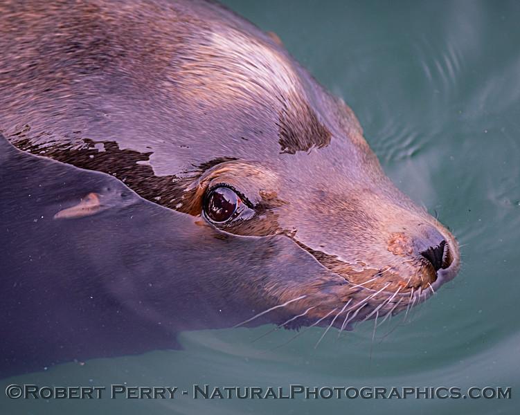 Zalophus californianus bull CLOSE 2019 01-28 Bodega Bay--040