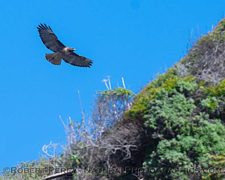 A red-tailed hawk soars along the edge of the hills.