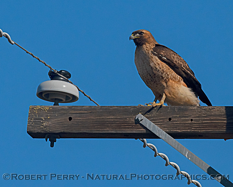 Buteo jamaicensis on power pole 2019 02-18 Llano Seco--020