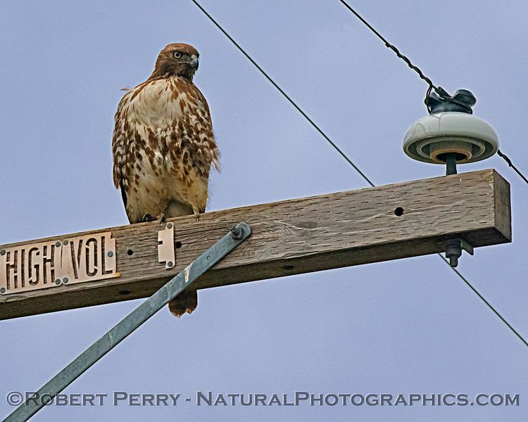 Buteo jamaicensis on telephone pole 2019 02-24 Plainfield--018