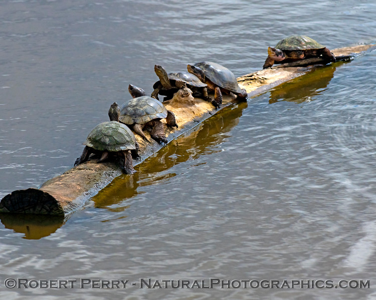 Chrysemys picta bellii Western painted turtles 2019 03-10 Sac NWR--002