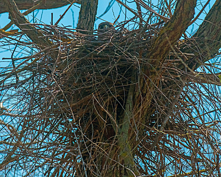 Buteo jamaicensis in nest 2019 03-19 San Luis NWR--011