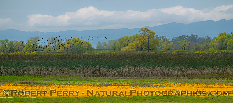 wetlands spring flowers scenery 2019 04-07 Sac NWR--010