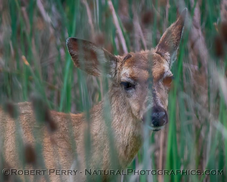 Odocoileus hemionus californicus Mule deer 2019 04-07 Sac NWR--017