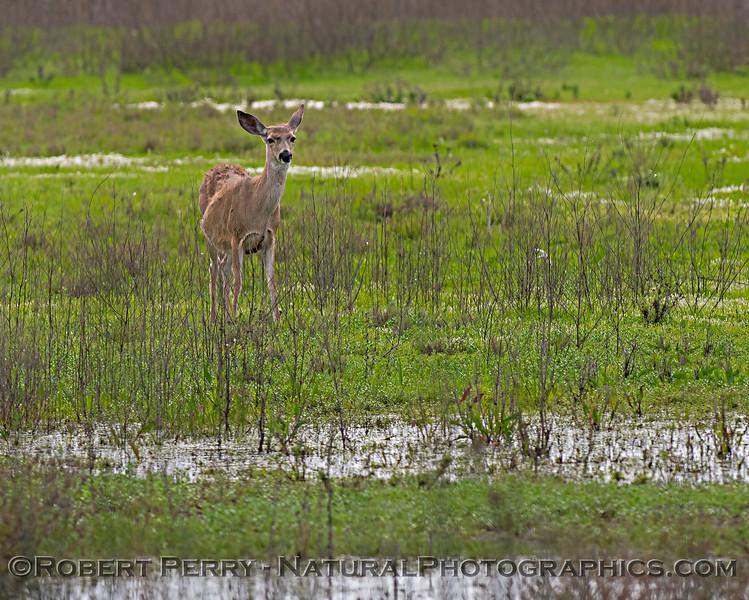 Odocoileus hemionus californicus Mule deer 2019 04-07 Sac NWR--004