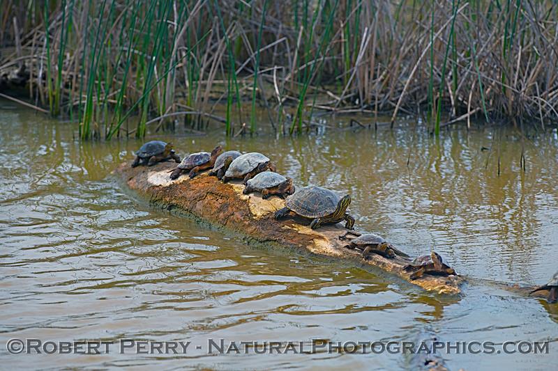 Trachemys scripta elegans red-eared slider & Actinemys marmorata Western pond turtles 2019 04-07 Sac NWR--012
