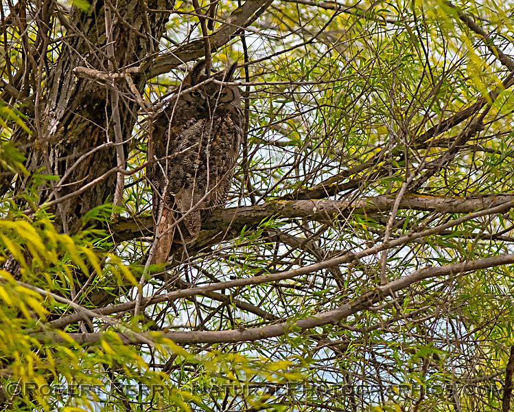 Bubo virginianus Great horned owl in tree 2019 04-07 Sac NWR--009