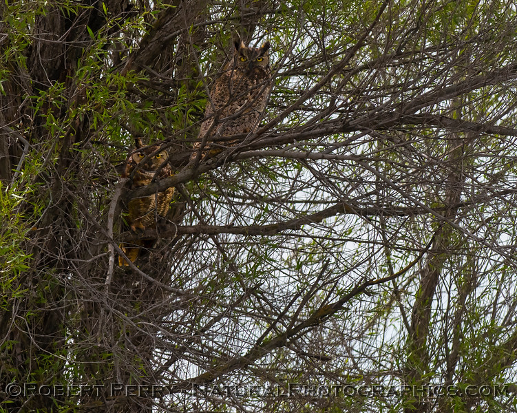 Bubo virginianus TWO in tree 2019 04-07 Sac NWR--002