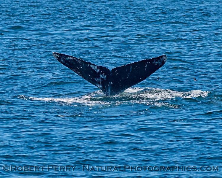 Humpback whale tail flukes ID shot.
