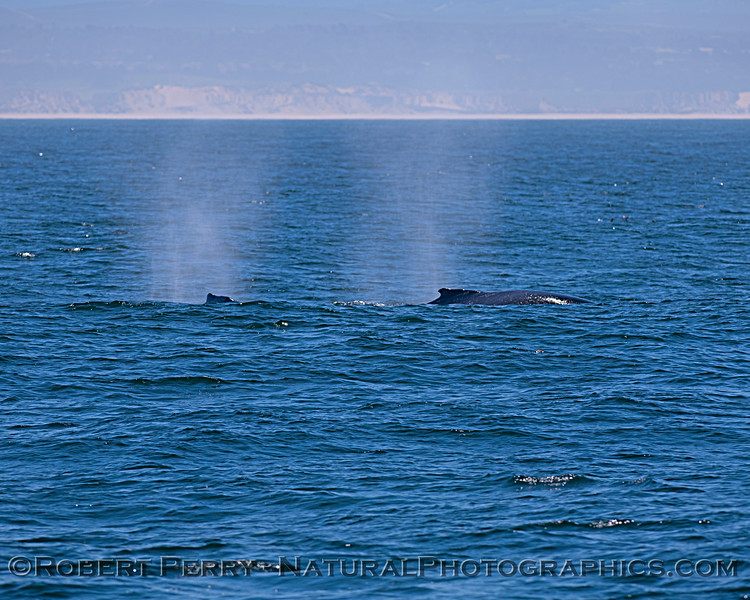 Two humpback whales with mist from their spout spray lingering in the morning air.