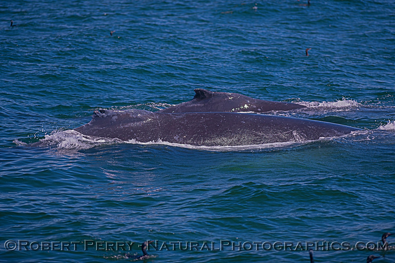 A pair of humpbacks, one has a notch in its dorsal fin.