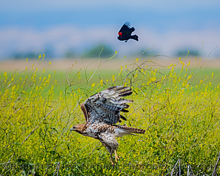"Red-winged blackbird follows red-tailed hawk and escorts the raptor out of ""town."""