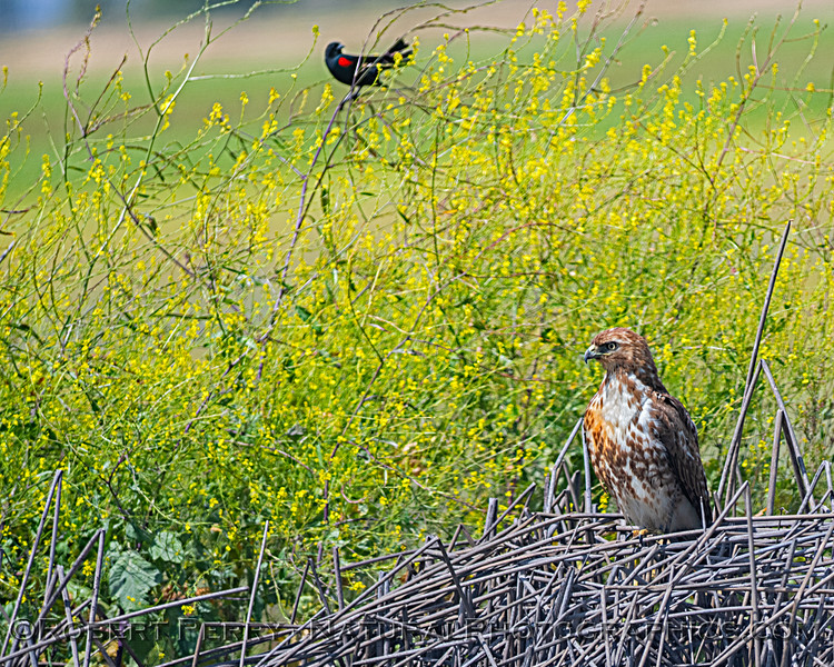 Red-tailed hawk with an ever watchful red-winged blackbird.  When the hawk took flight, this blackbird was part of an anti-hawk mob and it rode the back of the hawk as it flew out of town.