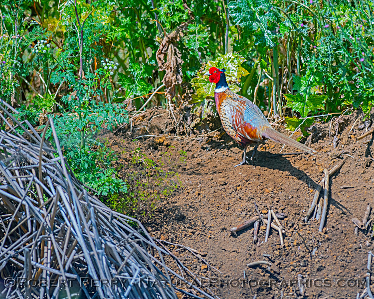 Ring-necked pheasant, just before it disappeared into the reeds.
