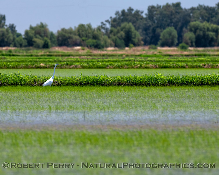 Egretta thula in rice field 2019 06-13 Colusa NWR--008