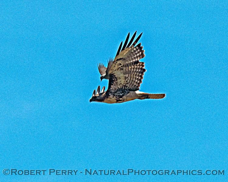Buteo jamaicensis & Sturnella neglecta meadowlark attack 2019 06-13 Olm Rd Colusa NWR--002