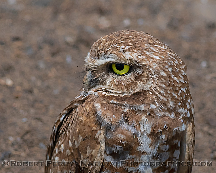 Burrowing owl - side view