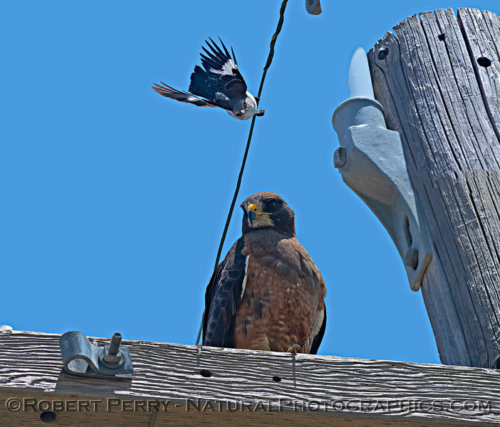One of two mockingbirds hell-bent on chasing away this Swainson's hawk.