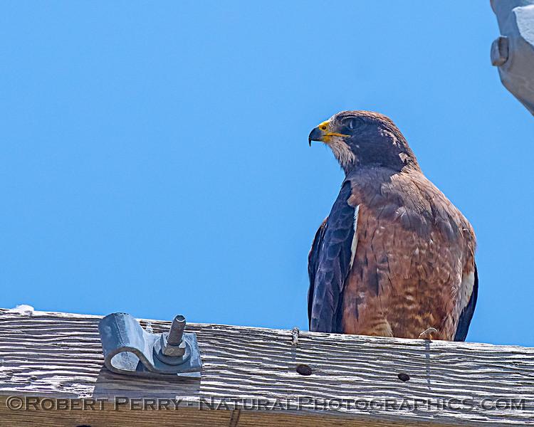 Wary Swainson's hawk