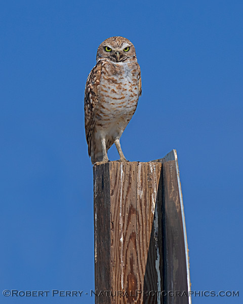 Burrowing owl on owl warning sign.