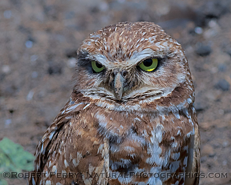 Burrowing owl - portrait