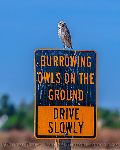 Burrown owl on warning sign.  (Scroll down to see my humorous sign modification)