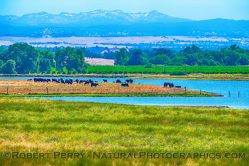 grassland lake cows FULL 2019 07-14 Meiss Rd --003