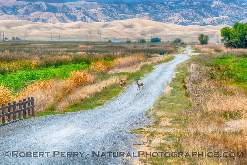 A mother mule deer waits for her juvenile to cross the road.