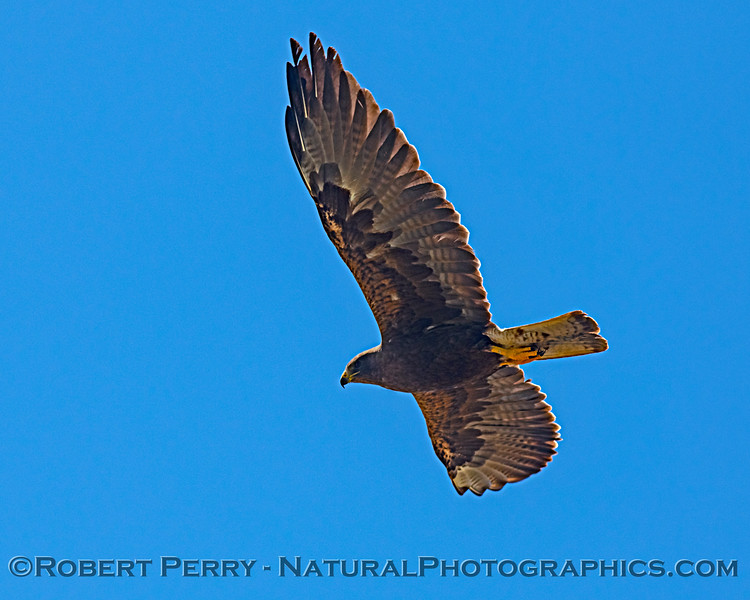 Buteo swainsoni in flight 2019 08-03 Meiss Rd -c-010