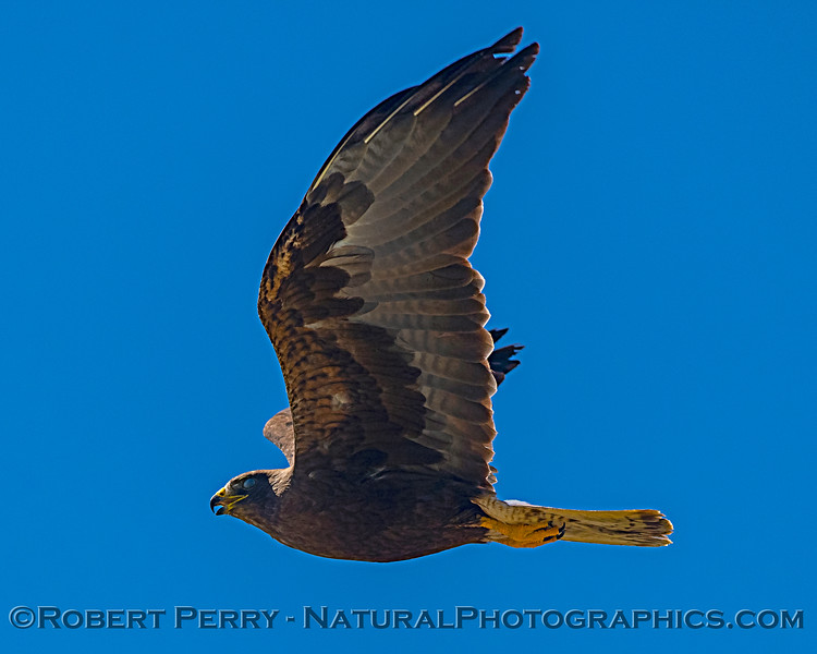 Buteo swainsoni in flight 2019 08-03 Meiss Rd -c-006