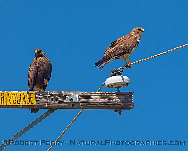 Buteo swainsoni 2 on telephone pole 2019 08-03 Meiss Rd --017