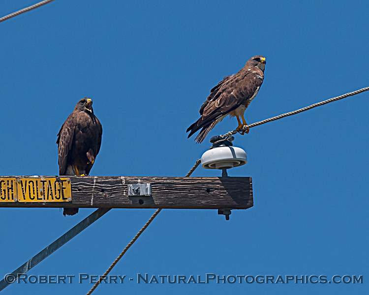 Buteo swainsoni 2 on telephone pole 2019 08-03 Meiss Rd --002