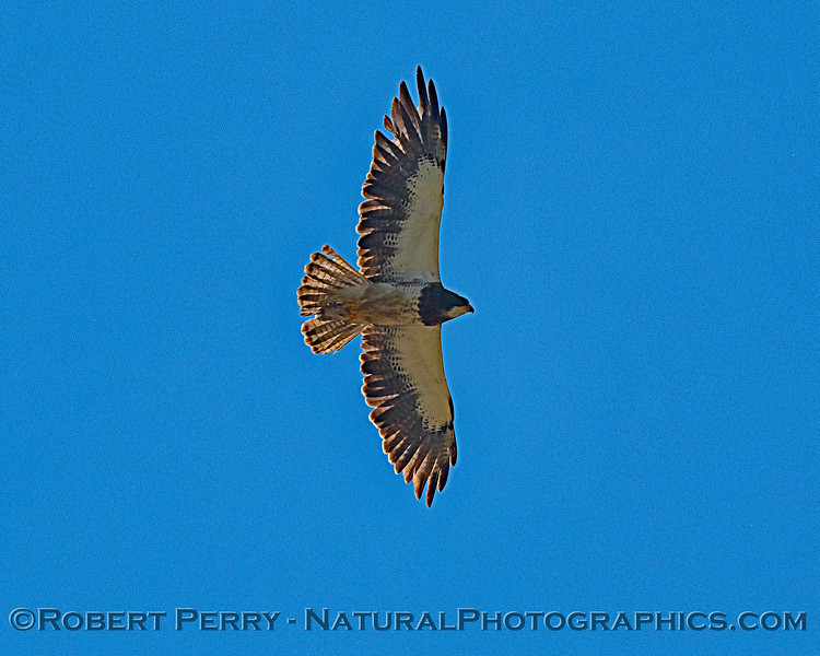 Buteo swainsoni in flight 2019 08-03 Meiss Rd -c-039